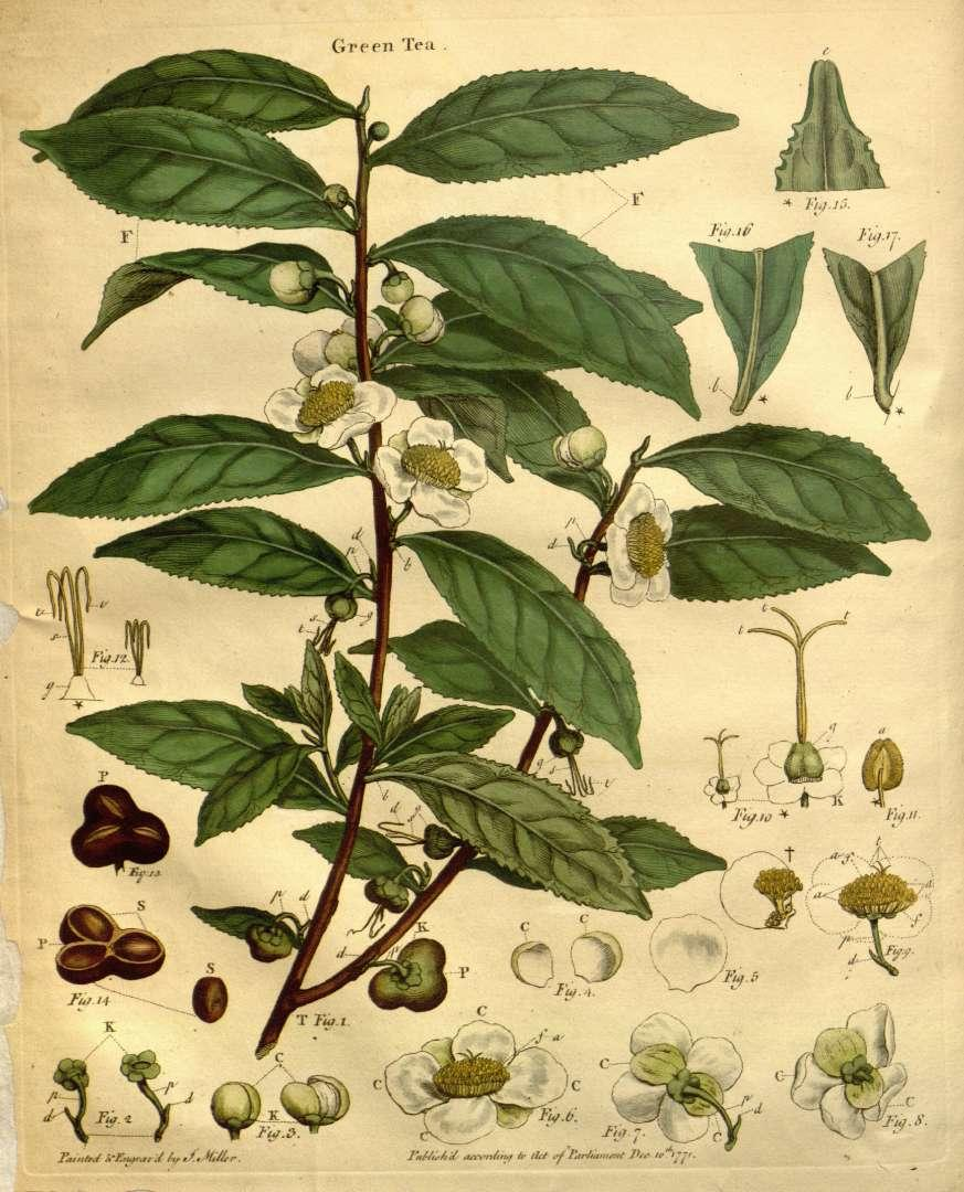 camellia_sinensis