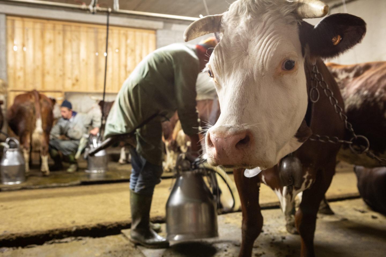estrema d'alpeggio fontina dop mucca stalla