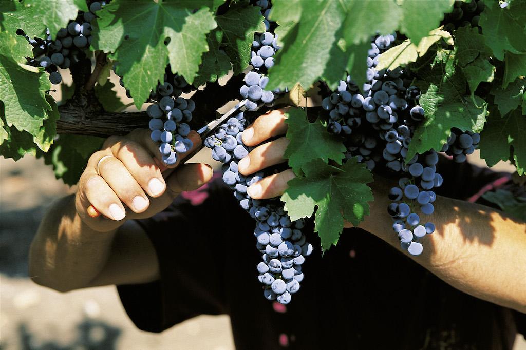 casa vinicola fazio Vendemmia taglio dell'uva - Merlot