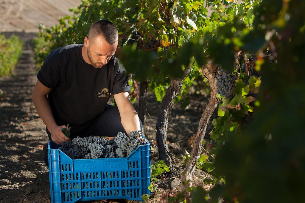 casa vinicola fazio Vendemmia