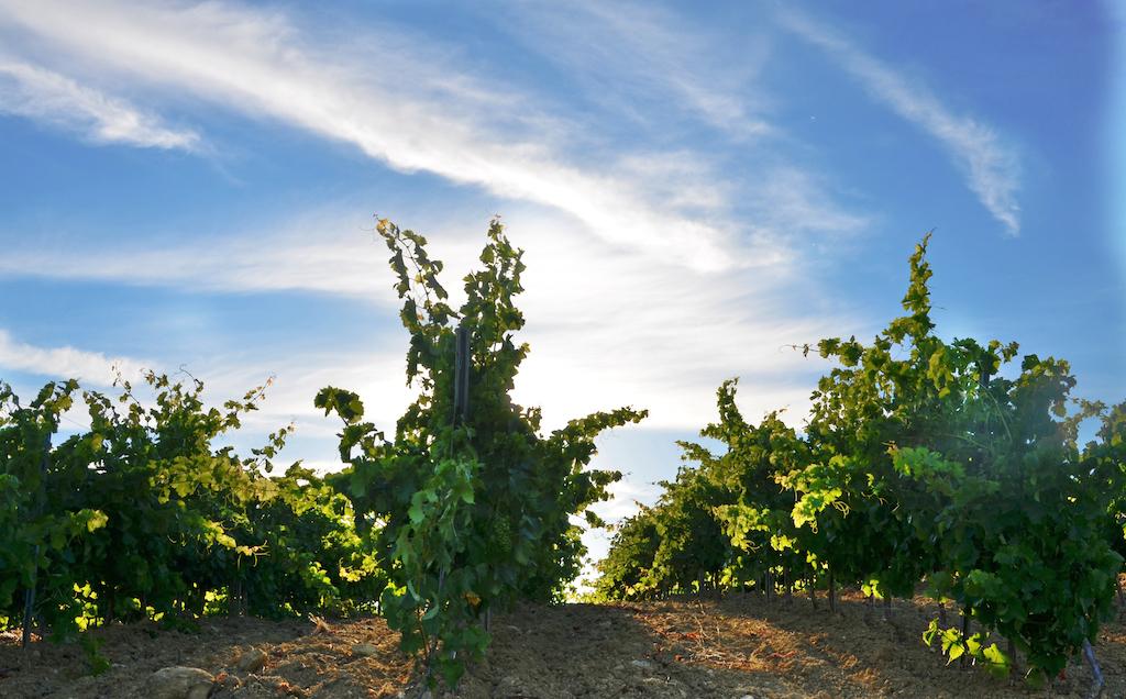 casa vinicola fazio vigneto 2