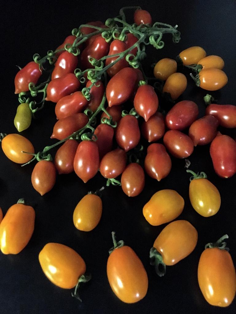 pasta vesuvio con pomodori datterini rossi e gialli tonno fresco e aneto cascata datterini
